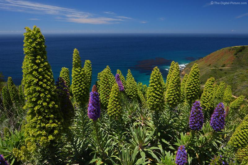 Large Purple Flowers Big Sur