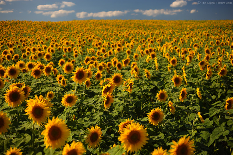 Vast Field of Sunflowers