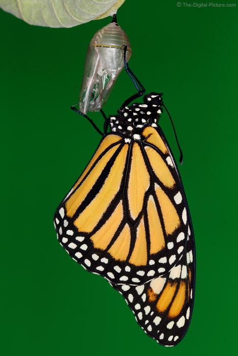 Just Metamorphosized Monarch Butterfly