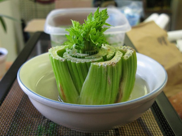 regrow veggies from scraps