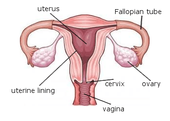 uterus-labeled