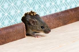 rodent entry point