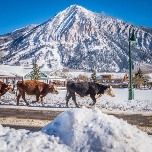 Cows are crossing the main route that connects Crested Butte to Mt Crested Butte (where the lifts are!)