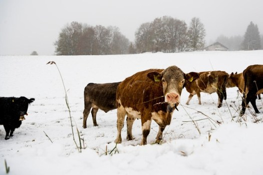 Cows trying to find the grass under the snow at the Vallée de Joux in Jura- Photo Keystone -Jean-Christophe Bott- Swiss.ch.