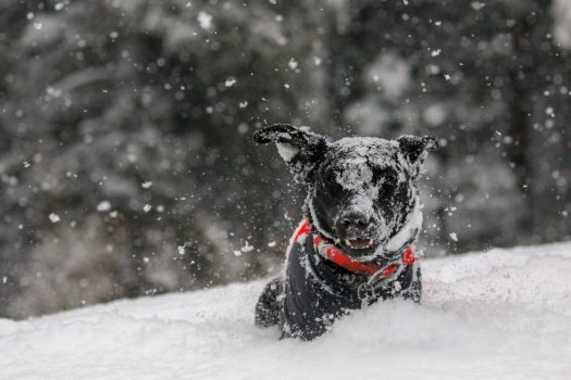 Nothing better than your dog enjoying a snowy landscape. Update on Pet Travel Scheme, DEFRA, Eurotunnel. Photo by Yuki Dog, Unsplash.