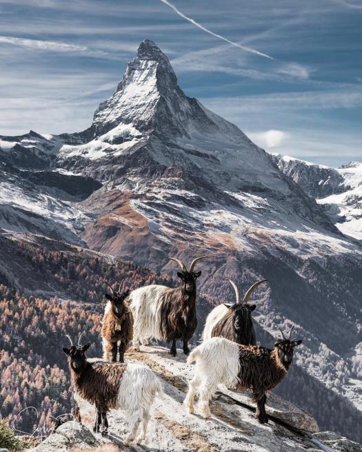 A picture of the Matterhorn with some goats.Zermatt is a top destination that should be in your bucket list. A gas explosion has taken place Friday at the Grand Hotel Zermatterhof.