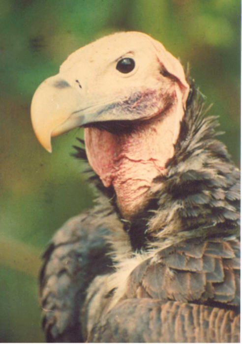 The India Vulture  dying species