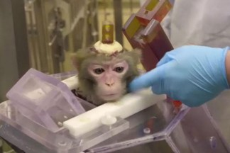 Monkeys Have Holes Drilled Into Their Skulls and Devices Cemented Onto Them in Shocking Experiments in Belgian Labs