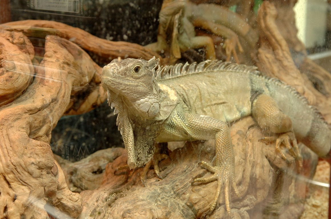 Three iguanas which were pets for the music mogul