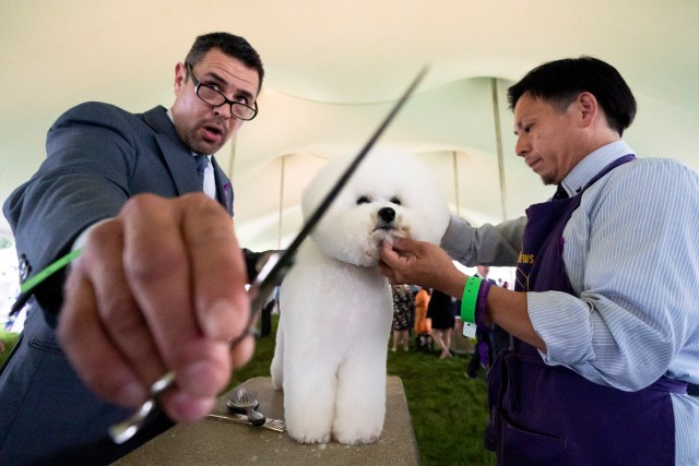 A bichon frise is groomed in the staging area in the tented judging area