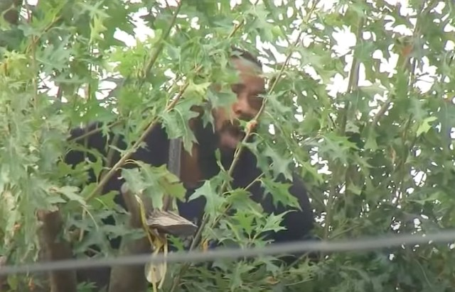 Police arrived in the Jamaica neighborhood of Queens to find the branch bandit up the tree and refusing to come down