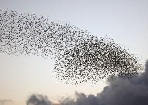 Starling Murmurations