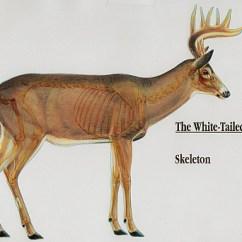 Deer Skeleton Diagram 7 Pin Wiring Anatomy Of A Whitetail