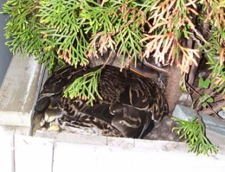 Toronto Wildlife Centre - Duckling