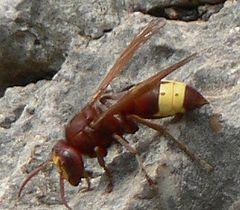 Oriental hornet