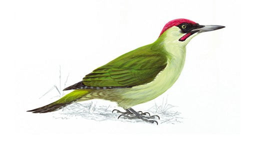 Painting of a woodpecker