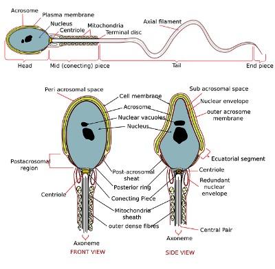 And sperm fertility morphology