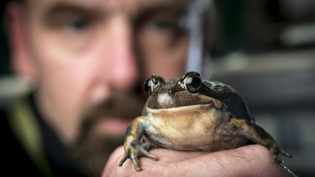 Museum Victoria's manager of live exhibits Patrick Honan with a pobblebonk or banjo frog.