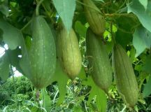 Health Benefits of Luffa, Nutrition Fact (Sponge Gourd)