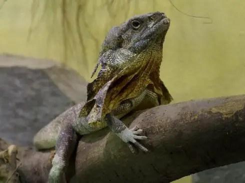 frilled-neck-lizard