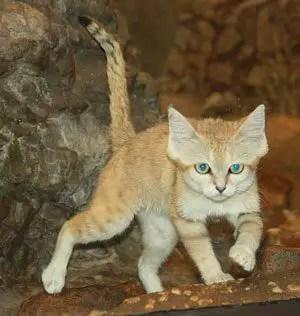 Sand Cat