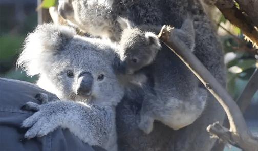 australian reptile park koala