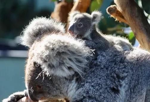 australian reptile park koala joey