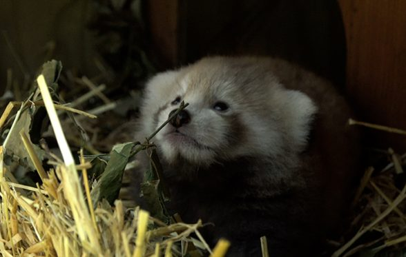 red panda cub newquay