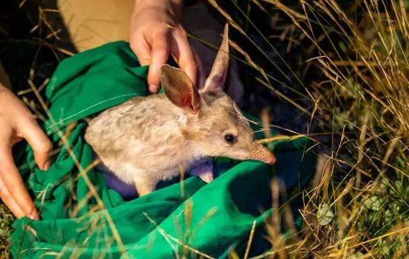 greater bilby release taronga western plains zoo