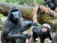 macaque singapore zoo