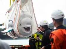 beluga sea life sanctuary