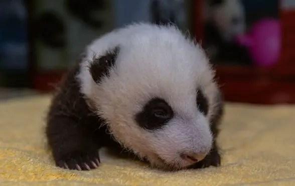 smithsonian panda cubs ears open