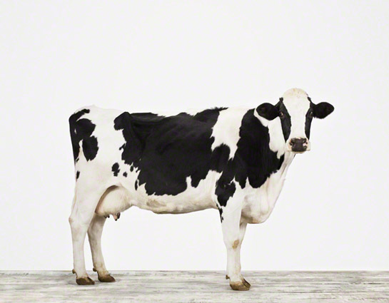 animal-prints-animal-art-photography-cow