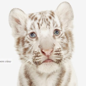 baby-white-tiger-art-for-nursery