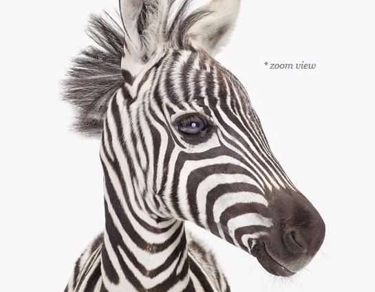 baby-zebra-decor--art-for-nursery