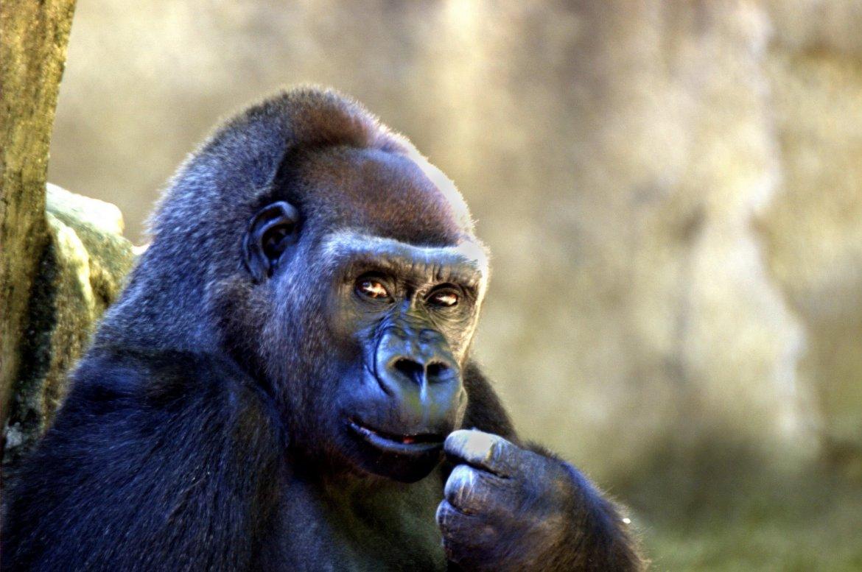 The Gorilla Joke