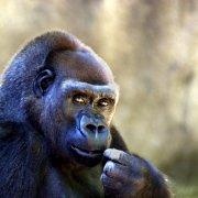 The Gorilla Animal Jokes