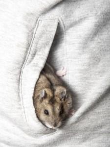 Dwarf Hamster pocket pet