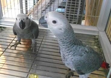 African Greys
