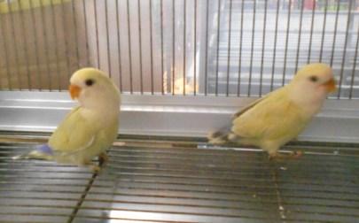Fancy Lovebirds