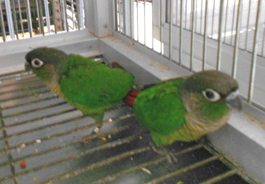 Green Cheek Conures