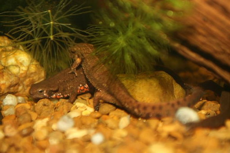 Japanese_Fire-Bellied_Newt_(Cynops_pyrrhogaster)_(3149749632)