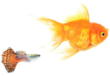 Goldfish and guppy