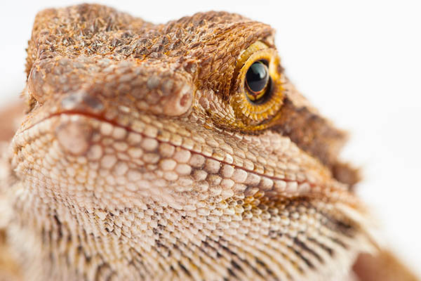 Bearded Dragon Reptiles