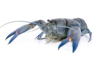 Blue Lobster Crayfish