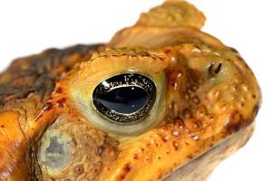 Bufis Marinus Cane Toad