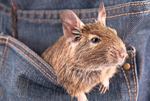 Degu pocket pets