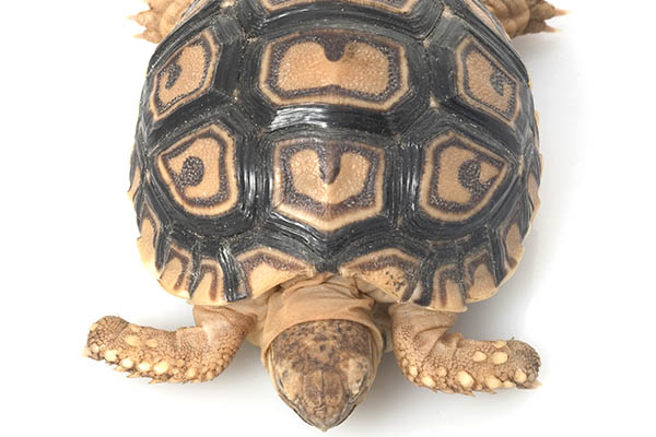 Leopard Tortoise in turtles and tortoises