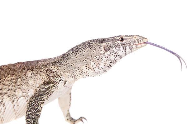 Nile Monitor Reptiles
