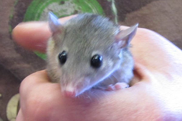 Short-tailed opossum pocket pet